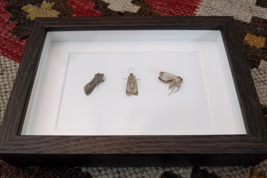Het karigste cadeau dat Lotte ooit heeft gegeven; drie ingelijste motten in verschillende posities